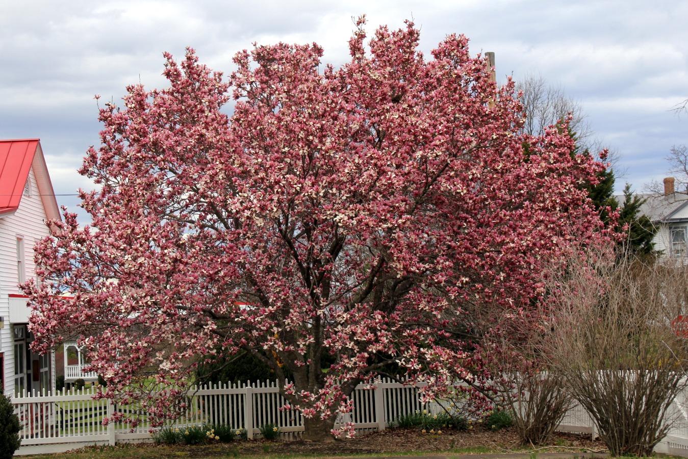 Gorgeous flowering Tulip Magnolia