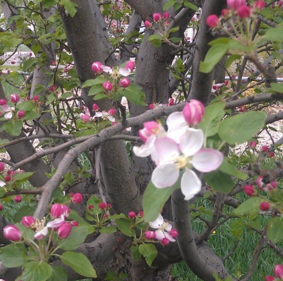 Fowering Spring Tree