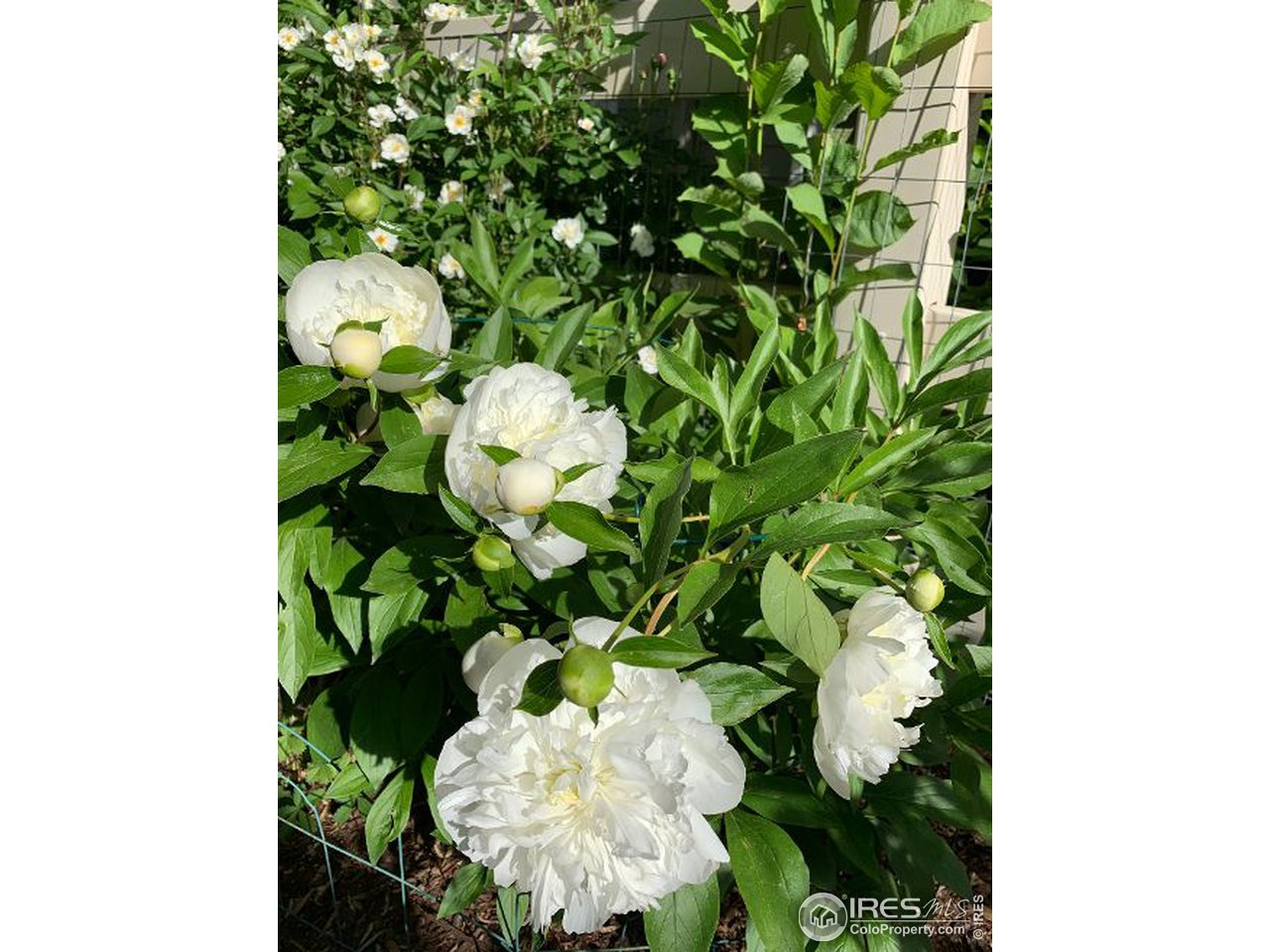 Can you say Peonies?