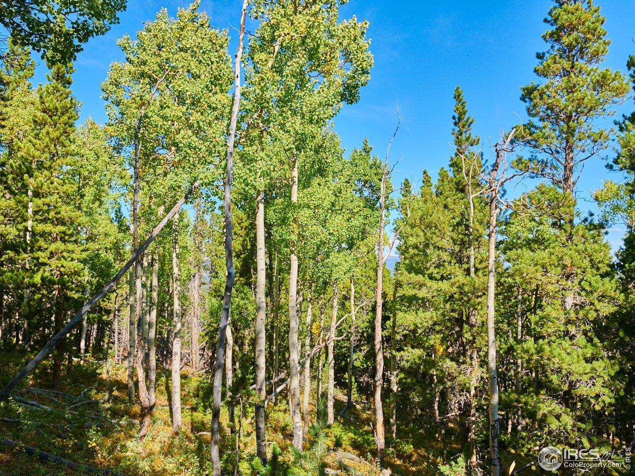 Your Own Private Aspen Forest