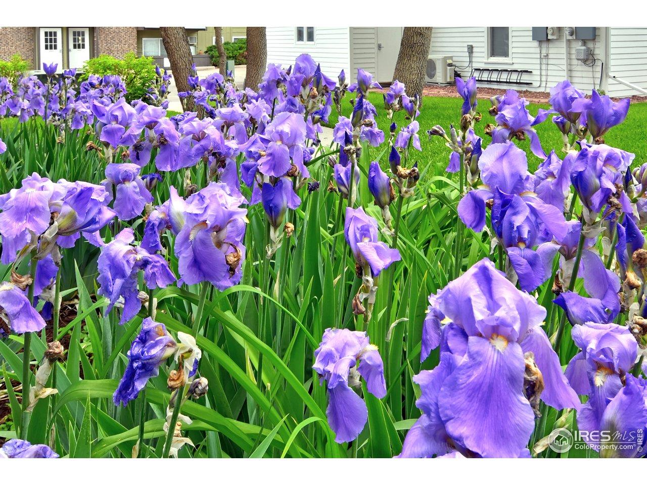Iris in bloom in front of condo